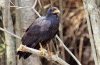 Common Black-Hawk (Buteogallus anthracinus)