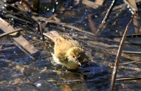 Common Chiffchaff (Phylloscopus collybita) bathing