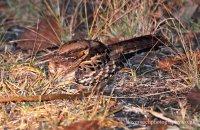 Common Pauraque (Nyctidromus albicolis)