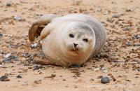 Common Seal pup on Blakeney Point beach  (Phoca vitulina)