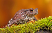 (iii)  Common Toad (Bufo bufo)