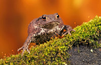 (i) Common Toad (Bufo bufo)
