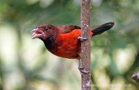 Crimson-backed Tanager female (Ramphocelus dimidiatus)