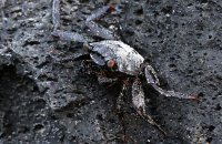 Cryptic young Sally Lightfoot Crab (Grapsus grapsus)