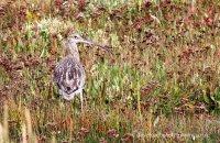 Curlew Stiffkey Marsh 2  (Numenius arquata)