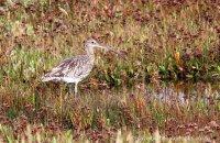 Curlew Stiffkey Marsh (Numenius arquata)