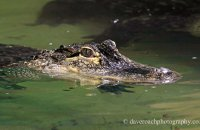 'Daisy' - Female American Alligator (Alligator mississippiensis)