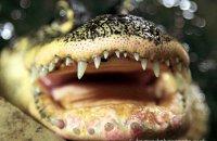 'Daisy smiling' - Female American Alligator (Alligator mississippiensis)