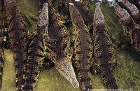 'Dinner queue?'  Nile Crocodiles (Crocodylus niloticus)