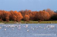 Doñana Flamingoes (Phoenicopterus roseus) in the evening light