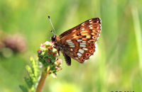 (1) Duke of Burgundy