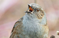 (1) Dunnock singing