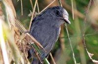 Dusky Antbird (Cercomacra tyrannina)