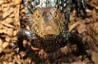 """""""Got anything for me...?""""   Dwarf Caiman, Cuvier's Smooth-fronted Caiman """"Paleosuchus palpebrosus"""""""