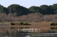 European Spoonbills (Platalea leucorodia) in the Doñana National Park