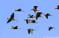 Flock of Glossy Ibis (Plegadis falcinellus) flying