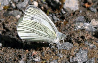 A Green-veined White also drinking from the track