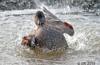 Gadwall bathing