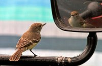 Who's a pretty boy then?  Galapagos Flycatcher (Myriarchus magnirostris) intrigued by its own refection