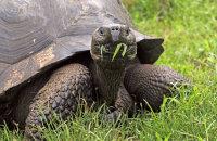 Galapagos Giant Tortoise (Geochelone spp.)