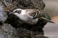 Galapagos Mockingbird foraging  (Mimus parvulus)