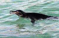 Galapagos Penguin (Spheniscis mendiculus)