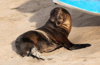 Or not..!    Galapagos Sealion (Zalophus wollebacki) enjoying the beach