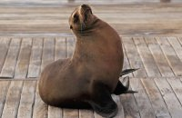 Galapagos Sealion (Zalophus wollebacki) resting on the jetty