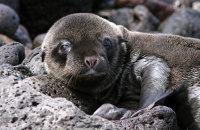 Recently-born Galapagos Sealion pup (Zalophus wollebacki)