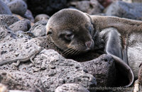 Not sure about this flipper!  Galapagos Sealion pup (Zalophus wollebacki)