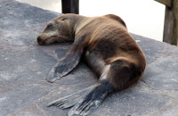 Galapagos Sealion (Zalophus wollebacki) asleep on the jetty