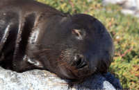 Galapagos Sealion (Zalophus wollebacki) fast asleep on South Plaza