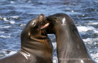 Galapagos Sealions (Zalophus wollebacki)