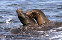 Galapagos Sealions playing  (Zalophus wollebacki)