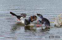 (1) Purple Gallinules (Swamphens) fighting