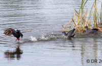 (3) A nesting pair of Swamphens see off the intruder