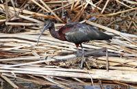 (1) Glossy Ibis