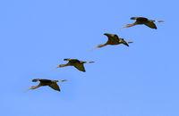 Glossy Ibis (Plegadis falcinellus) formation flying
