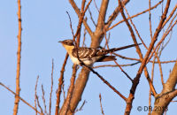 (1) Great Spotted Cuckoo (which was top of our 'wish-list')