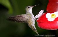 Green and White Hummingbird (Amazilia viridicauda)