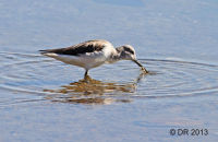(2) Greenshank with a small crab