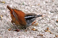 Grey-breasted Wood-Wren with catch (Henicorhina leucophrys)