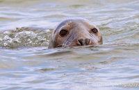 Grey Seal emerging (Halichoerus grypus)