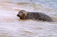 Grey Seal on Blakeney Point beach (Halichoerus grypus)
