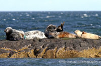 Grey Seals (Halichoerus grypus) on rocky outcrops