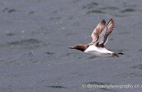 Guillemot flying (Uria aalge)