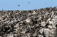 Huge colonies of cliff-nesting seabirds seen from the boat