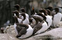 "Guillemots on the cliffs of Staple Island  (Uria aalge)   ""Eyes left"""