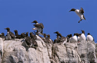Guillemots landing (Uria aalge)