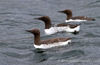 Guillemots around the boat (Uria aalge)
